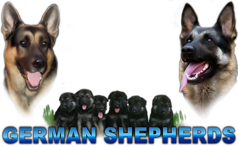 German Shepherd Puppies For Sale Nc German Shepherd