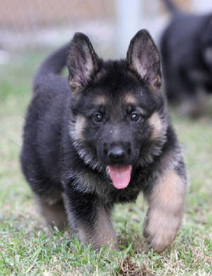 Czech german shepherd north carolina